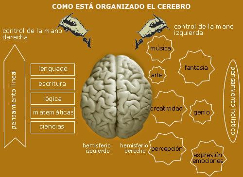 Organización cerebral